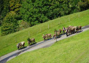 国民投票の前日、夏の放牧を終えた牛たちが、里の畜舎を目指し下山した。